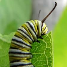 Caterpillar on swan plant